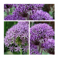Allium Violet Beauty